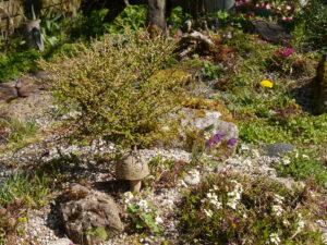 Larix decidua, Europäische Lärche, Steingarten, Wurzerlsgarten