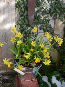 Narcissus cyclamineus 'Tête à Tête', gelbe Osterglocke, Wurzerlsgarten