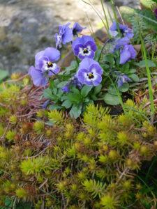 Sedum rupestre, Nickende Fetthenne, Viola cornuta, Hornveilchen, Peripherie in Wurzerlsgarten