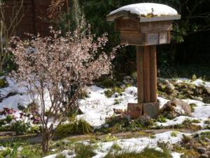 Prunus incisa 'Kojou-no-mai', Zierkirsche am 9.4.21 im Schnee, Mixed Border am Teich, Wurzerlsgarten