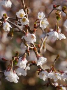 Prunus incisa 'Kojou-no-mai', Zierkirsche, Mixed Border am Teich, Wurzerlsgarten