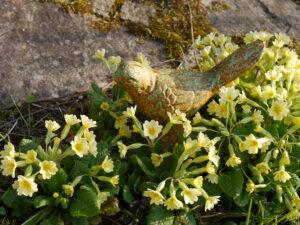 Primula vulgaris, Stängellose Schlüsselblume, Mixed Border Teich, Wurzerlsgarten