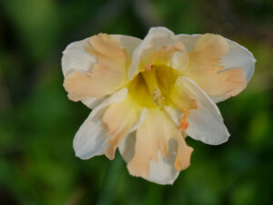 Narcissus 'Apricot Whirl', Spaltkronen-Narzisse, Wurzerlsgarten