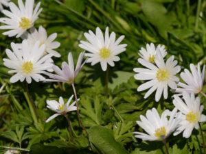 Anemone blanda 'White Splendour', weißes Balkanwindröschen, Blumenwiese in Wurzerlsgarten