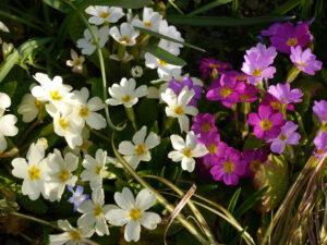 Primula vulgaris, Stängellose Schlüsselblume, Frühlingsbeet am Ahorneck, Wurzerlsgarten