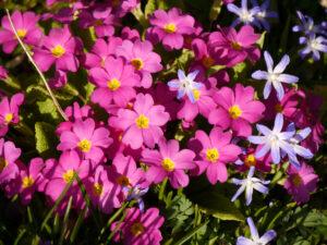 Primula vulgaris, Stängellose Schlüsselblume, Chionodoxa luciliae, Gewöhnlicher Schneestolz, Frühlingsbeet am Ahorneck, Wurzerlsgarten