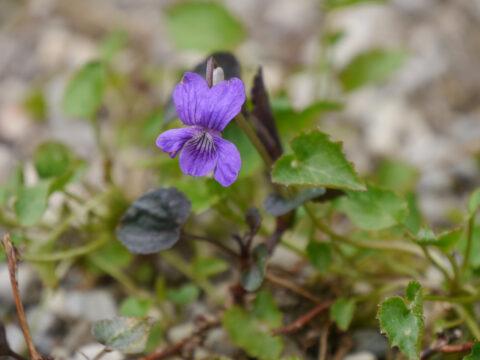 Viola labradorica, Labradorveilchen, Steingarten, Wurzerlsgarten