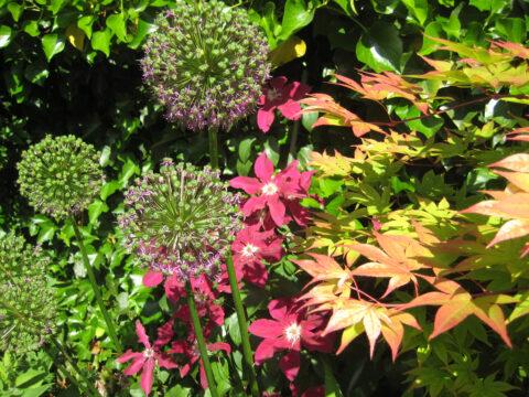 Mixed Border mit Allium, Clematis und Acer