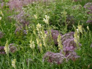 Präriebeet, Allium christophii ist unvorteilhaft von Begleitstauden überwachsen.