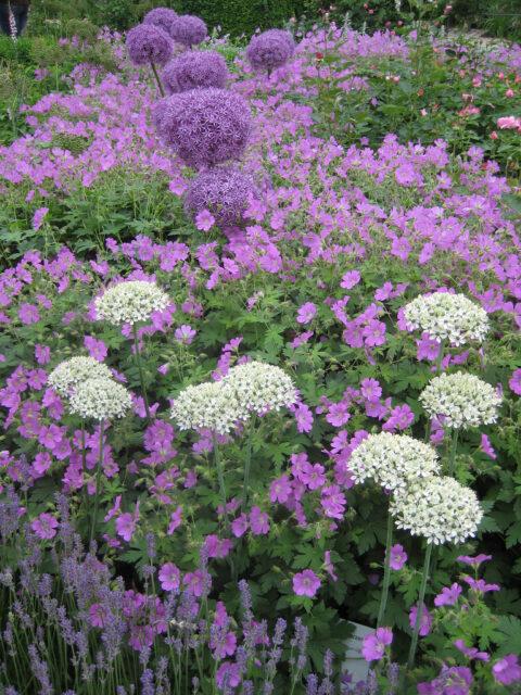 Allium nigrum u.a. mit Geranium und Rosen.