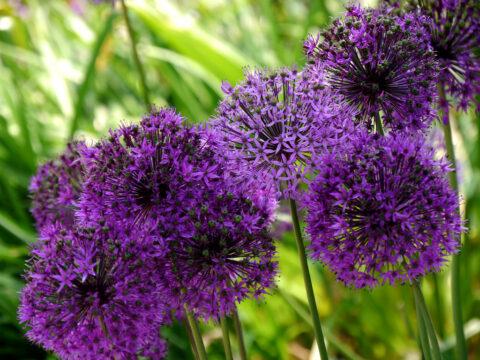 Allium aflatunense 'Purple Sensation' in Wurzerlsgarten