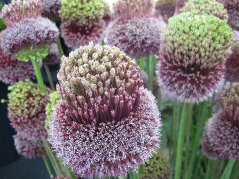Allium amethystinum 'Forelock' Wurzerlsgarten