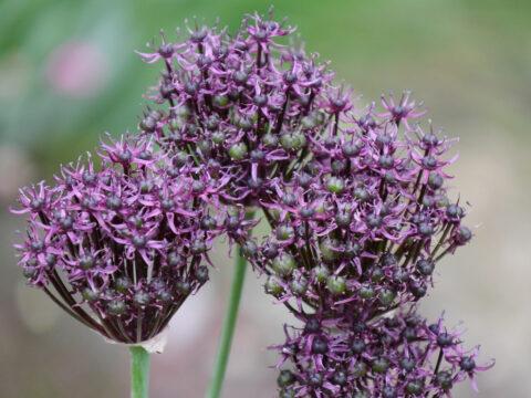 Allium atropurpureum Wurzerlsgarten