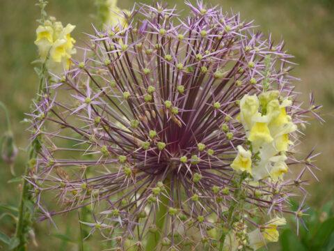 Allium christophii Wurzerlsgarten