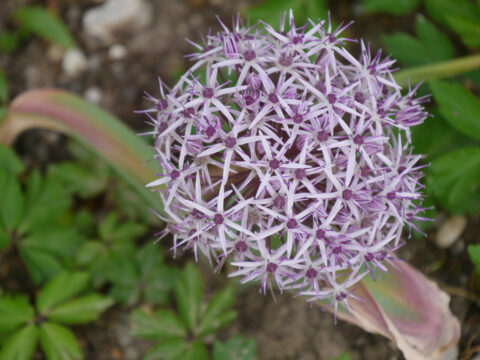 Allium christophii 'Metallic Shine' in Wurzerlsgarten