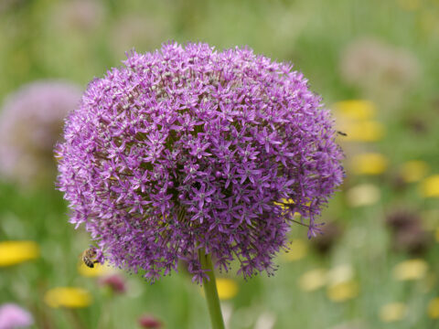 Allium giganteum x stipitatum 'Ambassador' in Wurzerlsgarten
