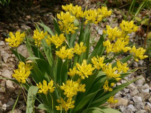 Allium moly, Goldlauch in Wurzerlsgarten