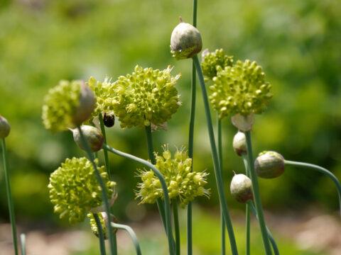 Allium obliquum, Scharfer Gelblauch in Wurzerlsgarten