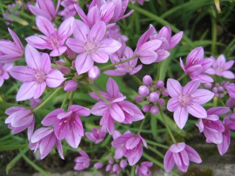 Allium oreophilum, Rosen-Zwerg-Lauch