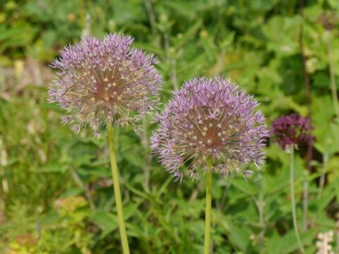 Allium stipitatum in Wurzerlsgarten
