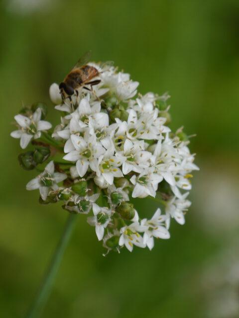 Allium tuberosum, chinesischer Schnittlauch in Wurzerlsgarten