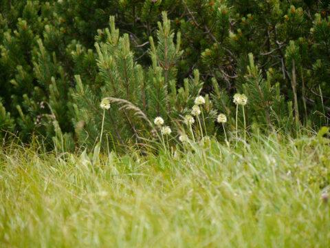 Allium victorialis, Allermannsharnisch, am Naturstandort auf dem Hochfelln, Chiemgau
