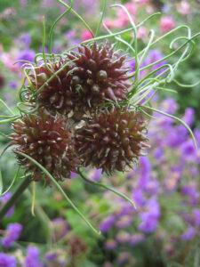 Allium vineale und Allium vienale 'Hair' im Vergleich