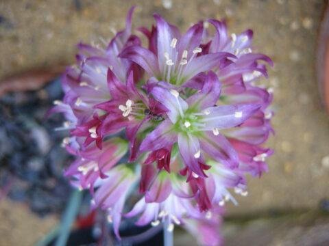 unbekanntes Allium