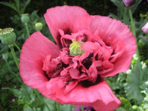 Papaver somniferum pink  (Paeoniflorum-Form) Paeonienblütiger Schlafmohn,, Dower House, Shropshire