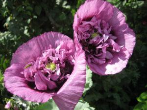 Papaver somniferum lila  (Paeoniflorum-Form) Paeonienblütiger Schlafmohn 'Violetta Blush', Dower House, Shropshire