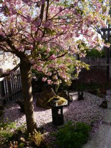 Blühende Hänge-Zierkirsche, Vorgarten von Wurzerlsgarten