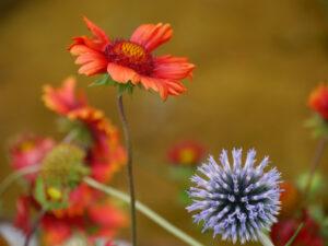 Gaillardia und Echinops in der Garten Tulln