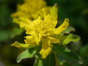Euphorbia polychroma, Gold-Wolfsmilch in Wurzerlsgarten