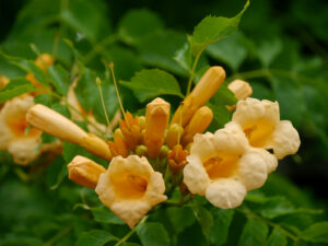 Campsis radicans 'Flava', amerikanische Klettertrompete, die Garten Tulln