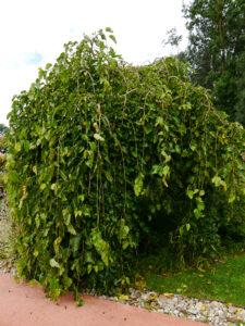 Morus alba 'Pendula', Hängende Weiss-Maulbeere, Die Garten Tulln