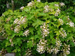 Hydrangea quercifolia, eichenblättrige Hortensie, Die Garten Tulln