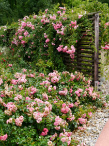 Rosa 'Pink Swany', Die Garten Tulln