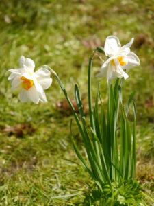 Narzissen in der Wiese, 2021 blühten sie bis Mitte Mai in Wurzerlsgarten