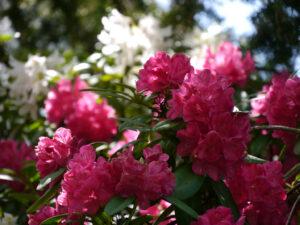 Rhododendronblüte in Wurzerlsgarten