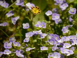 Veronica officinalis, Echter Ehrenpreis, Primula elatior 'Victorian Laced Primroses', Wurzerlsgarten
