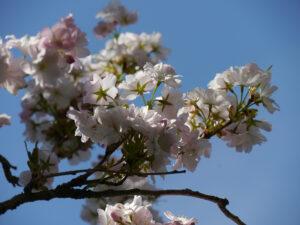 Prunus serrulata 'Amanogawa' in Wurzerlsgarten