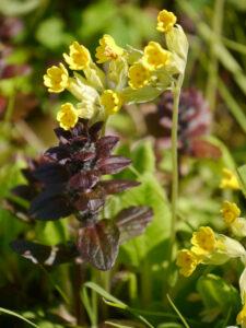 Die echte Schlüsselblume, Primula veris, und der Günsel, Ajuga reptans 'Atropurpurea' in Wurzerlsgarten