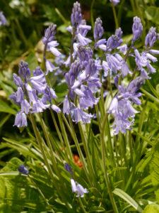 Hyacinthoides hispanica, Spanische Hasenglöckchen in Wurzerlsgarten