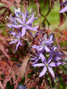 Camassia leichtlinii 'Caerulea', Blaue Prärielilie in Wurzerlsgarten