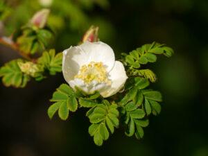 Rosa omeiensis var. pteracantha, Stacheldrahtrose in Wurzerlsgarten
