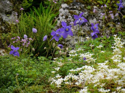Aquilegia bertolonii Schott - Bertoloni-Akelei, Botanischer Garten München, Wurzerlsgarten