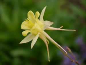 Aquilegia chrysantha Wurzerlsgarten