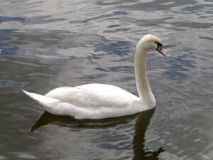 Odette, der weiße Schwan aus Schwanensee
