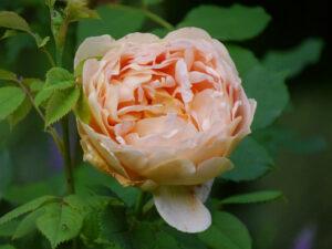 Rosa 'Golden Celebration', Garten Halwax