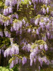 Wisteria im Botanische Garten München